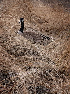 Allen_G9_Travel_Goose in Grass