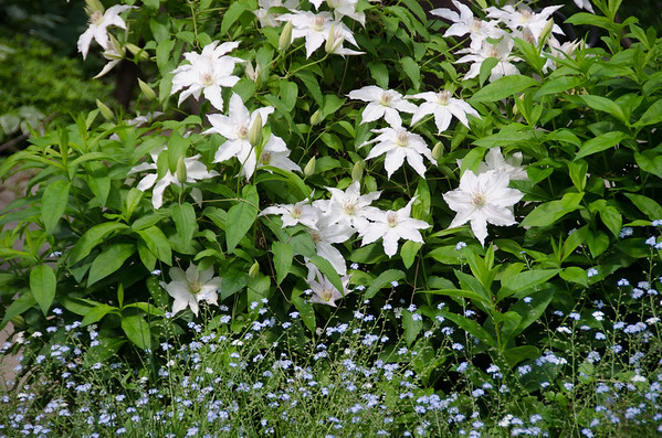 the white clematis erupts