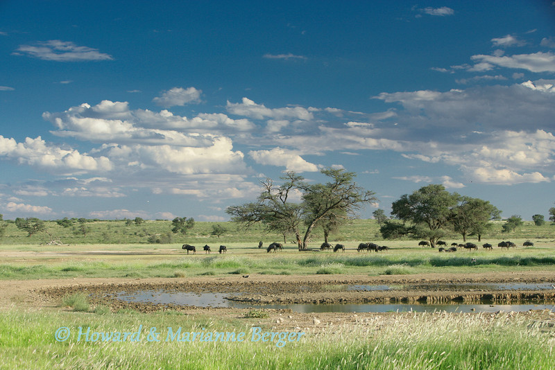 <h2>When to visit the Kgalagadi Transfrontier Park </h2>Kgalagadi and Etosha are our favourite parks. We spend about 6 weeks in the Kgalagadi each year. We vary the timing between the wet and dry periods, making sure to avoid the school holidays.  In the summer it is very dry and  wonderful sightings are made around the waterholes. However they are artifical boreholes and often very ugly with exposed bricks and mortar. Thus composing a natural photo can be difficult. Huge changes occur at the waterholes after the summer rains and though the game is more dispersed the pictures are more dramatic with large pools, massive clouds, green veld, and colourful flowers framing the animals.