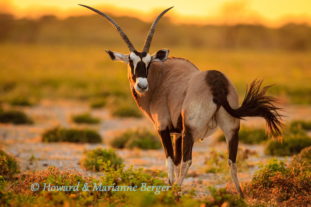 """<h2>Action & movement in portraits</h2>the powerful shoulders, turned neck, and delicate flick of the tail capture the potential energy waiting to be unleashed at any necessary moment by this Gemsbok.  When taking portraits of any animals, but especially those with fine bushy tails try and capture the swish with all its energy. This adds so much movement to an otherwise still photograph. Of course other energizers are glint in the eye, pricked ears, and a raise leg. Hard to synchronize the choreography with even one animal and when its a group get your car passengers to hold thumbs and shoot many shots hoping one will be it.  When animal movng e.g lion or elephant, time the click to capture a front leg (nearest you) in the air and also the tail swing visible on your side. Sometimes you will catch it just right. The effort is great fun if it works now and then. Of course as well as practice increased knowledge of the animals possible behaviour will improve your anticipation. We love the """"Beat about the Bush"""" books on mammals & birds by Trevor Carnaby (Jacana Press) and the """"Safari Companion""""by Richard Estes (Russel Friedman Books)"""