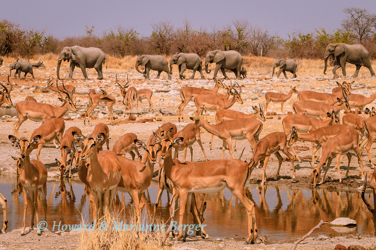 <h2>Where & When in Etosha</h2>In the early morning black-faced Impala (Aepyceros melampus petersi), and elephant (Loxodonta africana), drink at  Kalkheuvel waterhole.  Of course, as in all game parks, as you drive you may encounter wonderful sightings and with luck the sun may be shining from the right direction. The boreholes e.g. Newbrowni, Gemsbokvlakte & Olifantsbad also attract large numbers of game, but the pumps, pipes, and cement sometimes make composition difficult. We prefer to spend our time at the wonderful and open natural waterholes that are scattered over Etosha National Park. We will list our favourites according to to which camp they are near and then subdivide as a sunrise or sunset waterhole.  <b>Okaukuejo Camp:-</b> The waterhole at the camp must be the best waterhole in Africa. At sunrise the sun is behind you and the animals glow. The backlit sunsets can be wonderful as the animals kick up dust coming to drink. Also wonderful at night especially later on when most tourists are fast asleep. Otherwise our favourite watering hole is Okondeka, with animals on the pan and lions in wait around the water spring. The morning glare is harsh, and we go in the late afternoon. Be prepared for long drives in this area, especially if you go back to camp for a lunch break.  <b>Halali Camp:-</b> Also a good waterhole at the camp but mainly attracting lots of game at night e.g. rhino, elephant, and leopard. To the east is In the morning Goas, wonderful with game around the water in the lush reeds e.g.lion, elephant. In the afternoon Nuamses is a small paradise. We have been waiting patiently there for 7 years for a leopard! On the west side are Rietfontein (for the afternoon) and then Salvadora & Sueda, both face north into the open pan, and so mixed lighting. But nearby and small Charitsaub is ideal in the morning, & although game is sparse there, lion prides do visit the pool. Further west towards Okakuejo is Homob which is ideal in the morning light but the parking place is far from the water.  <b>Namutoni:-</b> As you can see from our portfolio captions this is our favourite area. Waterholes are evenly distributed for sunrise and sunset photography and near the main camp. At sunrise head for Chudop. Kalkheuvel,  & Ngobib, and if no luck head for Groot Okevi. In the afternoon Klein Okevi and Klein Namutoni. The latter is a paradise at sunset especially in the rainy season when herds of  giant clouds mass in the east  and glow in the sunlight. (see our portfolios) Please don't take my reserved parking at these  specks of paradise! Good hunting