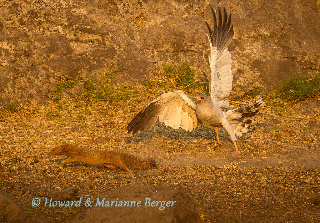 """<h2>Preparation & """"Anticipation""""</h2>At Nuamses waterhole, Etosha National Park, Namibia, a Yellow Mongoose (Cynictis penicillata) makes a dash for safety as it is pursued by a  Pale Chanting Goshawk (Melierax canorus), It did escape. I was completely surprised by this wonderful explosion of action. I have had to crop the picture down to 5Mb to get it large enough to show the action, even though I was using my 500mm lens. I would never routinely sit at this small waterhole with my 1.4 extender attached to the lens. A pity in this case. But of course despite preparation and """"anticipation"""" failures will often occur.  We often visit Nuamses in the afternoon and spend many hours waiting. We have had lion, elephants, and a variety of buck and birds coming to drink. This beautiful waterhole is small and near the parking place and dead tree trunks for birds to land on even nearer. Thus we prepare, setting up our larger telephoto lenses, without the extender, on our window mounts and have our 70-200mm zoom lenses mounted on our second cameras, ready for animal groups coming to drink. We have of course collected many portraits of a variety of animals over the years and now especially look for action shots. So the settings we default to are for action. I usually use manual mode and my wife aperture. We both aim for a shutter speed of 1/1000 or above. Of course doing this means opening the aperture and the disadvantage of the decreased depth of field reveals it self when we have groups of animals. Thus we rather default to f/5.6 of f/8 and increase the ISO value to 400-800 to achieve the fast speed, accepting the noisier (luminance & chrominance artifacts) but sharper action pictures. Of course if the scene is calm we can  lower the ISO and adjust speed and aperture to more appropriate levels, but then again revert to action default as soon as we have a few portraits. Thus we are prepared for what we hope, from past experience, will come to drink. Not being ready for the much """
