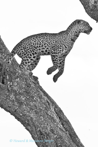<h2>Miscalculate & Miss!</h2>This leopard (Panthera pardus),appeared to be about to climb down the tree again and so I swiftly turned the view to vertical so as to also fit in the long tail. <b>Oh well you get some and miss many!</b> The leopard jumped horizontally across the view! The next shot was even better, with him in mid air but without a head! (Seronera river,  Serengeti National Park, Tanzania) Trying to predict an action is fun but very difficult. The rules that birds will fly off into the sun and against the wind, and also warn you by defecating first  are useful but far from infallible. This I've learnt after long waits with eye glued to viewfinder and my neck aching. Thus (see above) I often prefer to guestimate the birds flight path and fix my camera position with the Wimberley gimbal all tightened up.The body of the bird is framed almost outside the edge of the viewfinder and thus giving me time to shoot as it hopefully (!) flies off across my predicted view. For this. I use my remote trigger, and thus can comfortably can gaze thru the window opening & concentrate for much longer to capture the decisive moment. (see tip above). Marianne & I (back seat & front seats respectively), have different focal length telephoto lenses, and so choosing the parking distance from the bird (to diminish incidence of amputated wings) is a subject for friendly debate at times. Remember in heavier birds the take off trajectory will initially be more downwards compared to lighter birds, especially if carrying a kill.