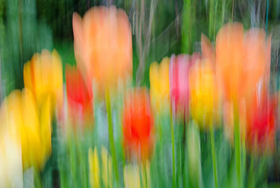 tulip abstract 1