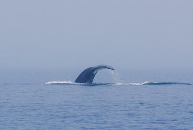 Humpback Whale, Port Hardy, BC