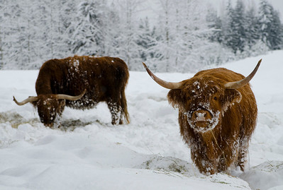 Cattle in snow, Larch Hills, near Enderby, Shuswap region of British Columbia, Canada
