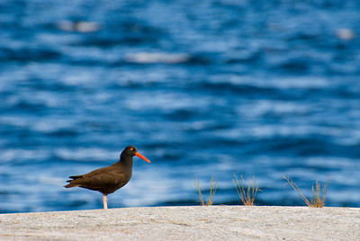 Oystercatcher, Powell River, BC