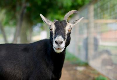Goat, Jerseyland Organics, Grand Forks, BC