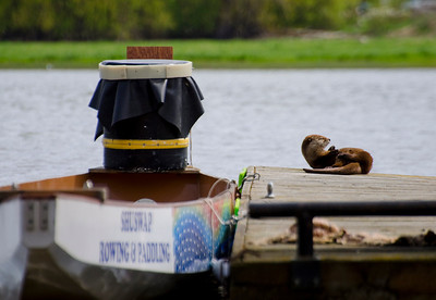 Otter, Salmon Arm, BC