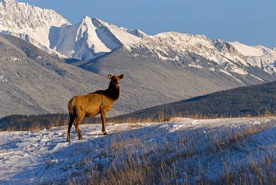 Elk, Jasper, AB
