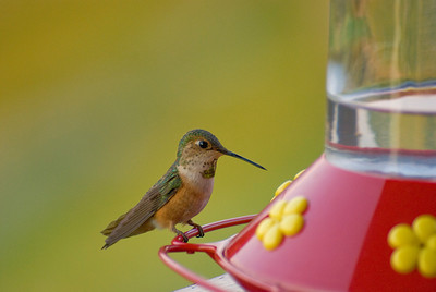 Hummingbird, Powell River, BC
