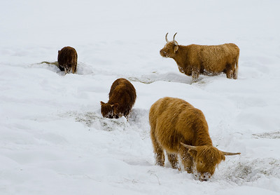 Highland cattle, Larch Hills, near Enderby, BC