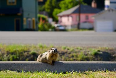 Marmot, Princeton, Similkameen, summer, wildlife, Darren Robinson