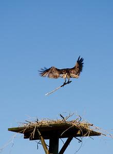 Osprey, Salmon Arm, BC