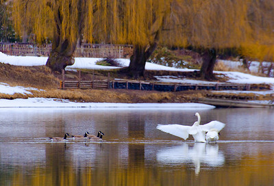 Swans, Enderby, BC