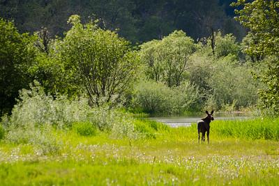 Moose, Lumby, BC