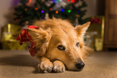 Dog with red bow in front of Christmas Tree