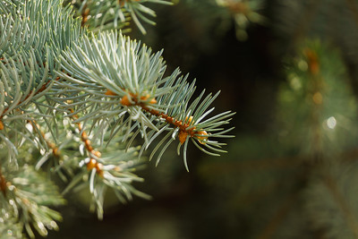 Isolated pine tree branch close up