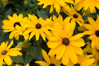 Bright yellow flowers with dark brown centers and deep green leaves.