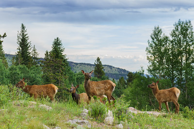 Four deer on a rocky hillside in the mountains