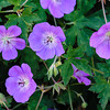 Blue and purple flowers with dark green leaves