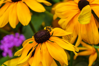 Honeybee on dark brown pistil center of bright yellow flower.