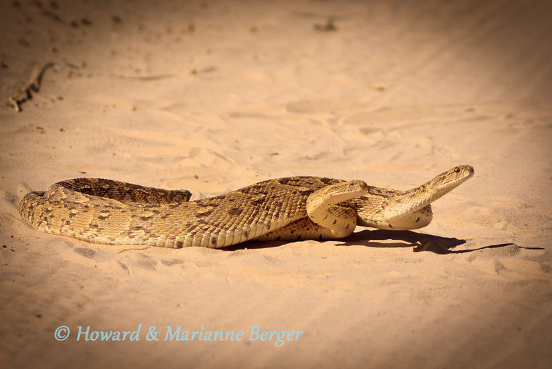 "<h2>Engine problems</h2>These puff adders (Bitis arietans) were mating in the road near Mata Mata in the Kgalagadi and concentrated on their task. They are very aggressive but sluggish snakes, however Cape cobras and black mambas are not only aggressive but move very fast.   We always check around our campsite in the evening and morning, wear shoes, have powerful headlamps, and keep a compression bandage in the cubby hole. In camp We have only encountered one small puff adder in Mata Mata and a Cape cobra slid past my foot in Nossob camp. On both occasions we immediately called the game rangers.  However the message here is about snakes on the road. We used to give them a wide birth and pass slowly to move into a good viewing position.<b> NO LONGER!!</b>. A Cape cobra did'nt slide away but attacked the front tire and ""disappeared"". We went straight back to camp and thorough inspection of engine bay, underbody, wheels by game rangers revealed nothing. We were careful that night around the car and by morning had forgotten about our non-paying passenger. 18 hours later while, photographing cheetahs, Marianne noted the 1.5 meter long cobra slide away!!! <b><i>Don't go near snakes in or out of the car!!!!</i></b> Also roll up your windows if you don't know your spitting snakes!"