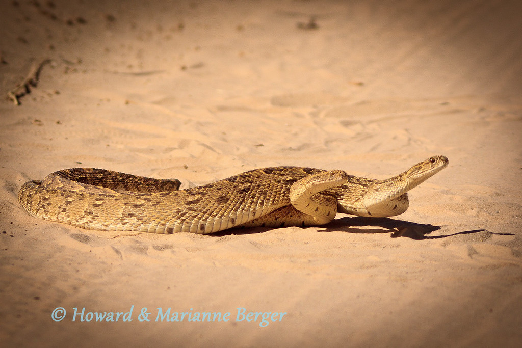 """<h2>Engine problems</h2>These puff adders (Bitis arietans) were mating in the road near Mata Mata in the Kgalagadi and concentrated on their task. They are very aggressive but sluggish snakes, however Cape cobras and black mambas are not only aggressive but move very fast.   We always check around our campsite in the evening and morning, wear shoes, have powerful headlamps, and keep a compression bandage in the cubby hole. In camp We have only encountered one small puff adder in Mata Mata and a Cape cobra slid past my foot in Nossob camp. On both occasions we immediately called the game rangers.  However the message here is about snakes on the road. We used to give them a wide birth and pass slowly to move into a good viewing position.<b> NO LONGER!!</b>. A Cape cobra did'nt slide away but attacked the front tire and """"disappeared"""". We went straight back to camp and thorough inspection of engine bay, underbody, wheels by game rangers revealed nothing. We were careful that night around the car and by morning had forgotten about our non-paying passenger. 18 hours later while, photographing cheetahs, Marianne noted the 1.5 meter long cobra slide away!!! <b><i>Don't go near snakes in or out of the car!!!!</i></b> Also roll up your windows if you don't know your spitting snakes!"""