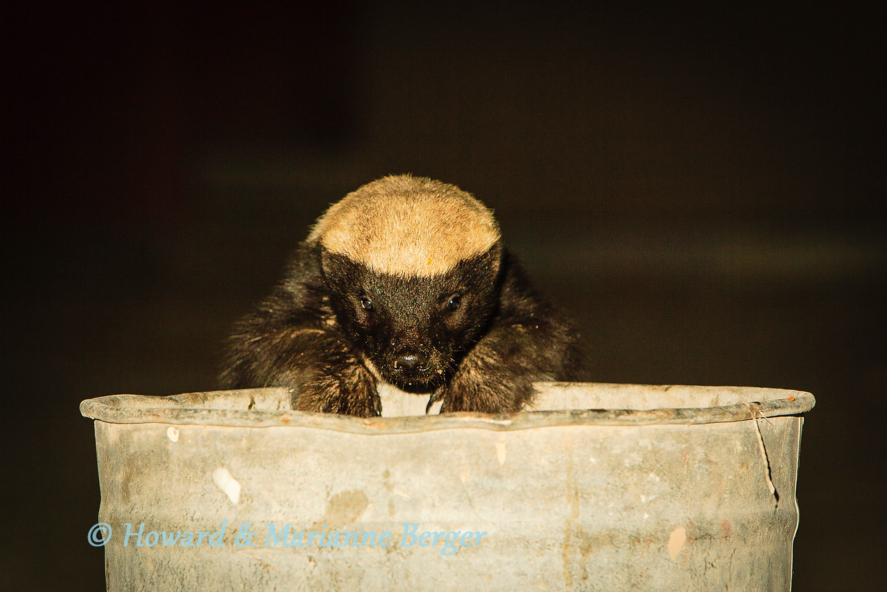 <h2>Day & Night Raiders</h2> A honey badger (Mellivora capensis capensis) raids the dustbin once again at Halali camp, Etosha National Park, Namibia. We have only encountered the honey badger in a camp at halai in Etosha. They come right up to the dustbins and will push of the lid and turn over the bin with their powerful bodies. They are renowned for their courage and ferocity but if left alone will not attack humans & appear to only be interested in discarded scraps. Halali camp has now raised the dustbins onto the tree trunks and nightly badger visits were rare when we visited in 2011.  The jackal is a major problem. In our experience particularly in Nossob camp in KTFP and Okaukeujo & Namutoni in Etosha. Despite warning posters  some tourists feed them and thus they return every night and are real pests. They are also extremely dangerous as they can carry rabies which is often fatal in man. Nossob camp in KTFP has made a determined effort to keep jackals out by keeping gates closed day & night and putting up electric fences. But, wherever you are, dont leave your food unguarded, or in a split second you can loose your meal to these wily creatures. They can also break into your tent if it is not zipped up tight.  Probably the biggest pest are the vervet monkeys and baboons. They are not present in the dry reserves i.e. KTFP and Etosha but very common to the KNP, Botswana, Zambia, Zimbabwe, & all the way up Africa. They will even enter the car if the window is open. Baboons are apparently only scared of adult male humans, and will react aggressively with women and children in order to obtain a meal. We have tried the rubber snake trick to scare of monkeys and baboons, and they only reacted with disdain. A catapult is apparently a useful deterrent but I misspent my childhood and now seem to only shoot backwards! Tents will be raided when you are away. They can open zips so use a small padlock or wire tie, but they will even tear the tent to get in if the can smell 