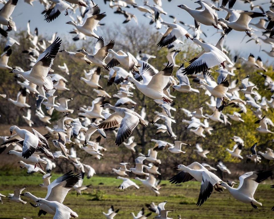 Canadien Snow Geese in Flight