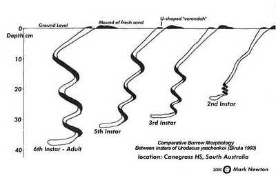 Age-specific relative burrow structures with adults on the left, youngest right.