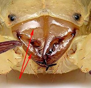 Arrows indicate the chelicerae, the appendages which unite the orders of arachnid as shown left - the Chelicerata.