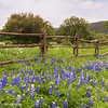 Bluebonnets by the Fence Post