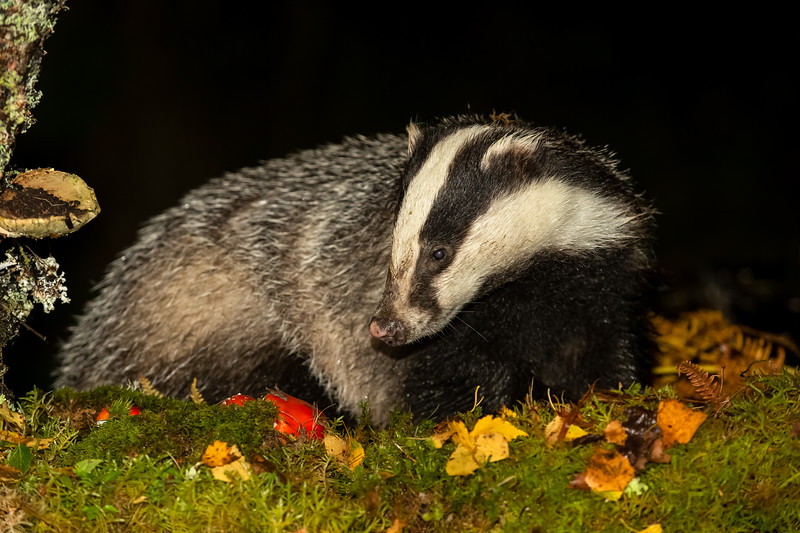 Badger in Autumn or Fall with red Fly Agaric toadstools and golden leaves.