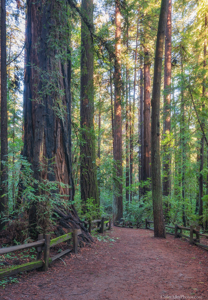 The Majestic Redwoods