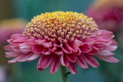 Chrysanthemum-1417