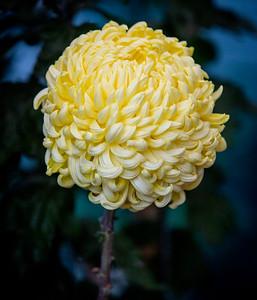 Chrysanthemum-1490