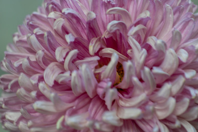 Chrysanthemum-1507