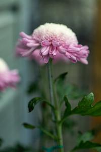 Chrysanthemum-1496