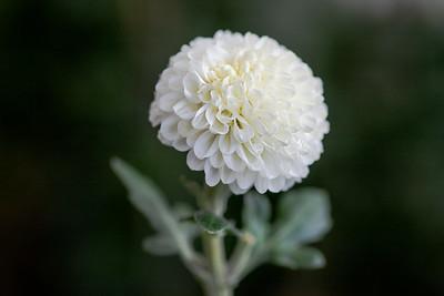 Chrysanthemum-1415