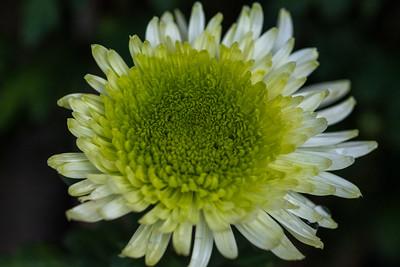 Chrysanthemum-1418