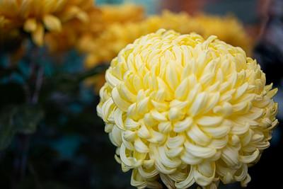 Chrysanthemum-1470