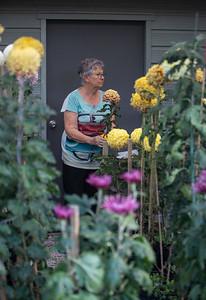 Chrysanthemum-1460