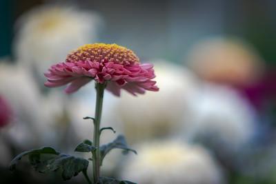 Chrysanthemum-1465