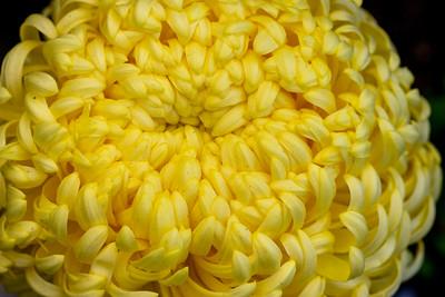 Chrysanthemum-1467