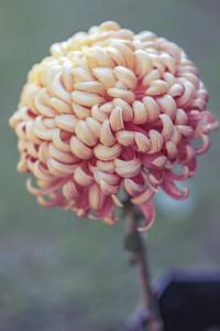 Chrysanthemum-1501