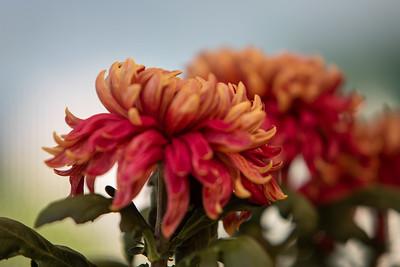 Chrysanthemum-1495