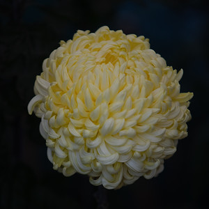 Chrysanthemum-1485