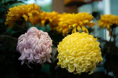 Chrysanthemum-1479