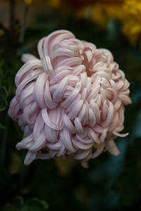 Chrysanthemum-1493